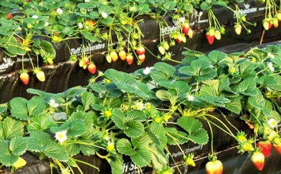 גידול תותים במצע מנותק שאינו מצריך ריסוס