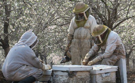 דבוראים מגבעת יואב בהצבת כוורות בשטחי הפריחה האביבית- צילום רינה נגילה