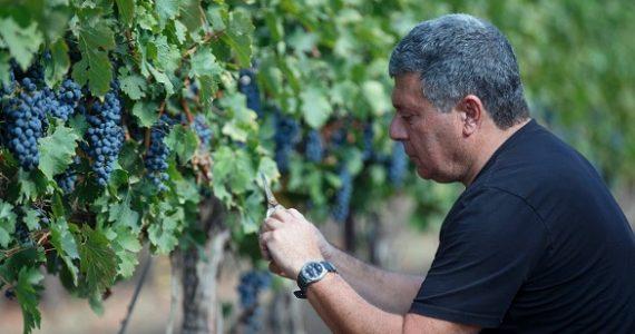 למרות הבצורת: 100 טון ענבים ביקב אחד