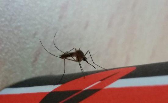יתוש הקולקס, צילום: הגר סבטי רשות הטבע והגנים