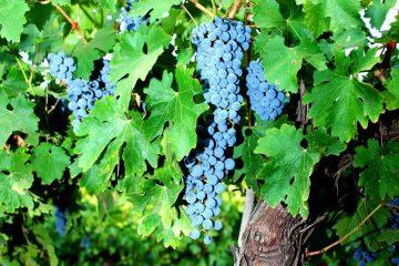 מיליון שתלי גפני יין בישראל