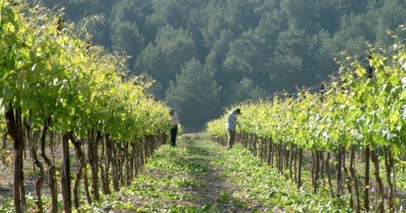 הקלפי מגיע ליקב הרי גליל: סיורי יין ללא עלות