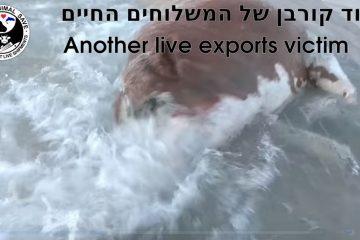 בתל אביב שוחים בחוף עם פרות