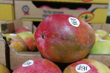 40.000 טון מנגו בשנה – בישראל