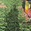 לקראת פסח: החקלאים משמידים סחורה