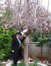 בני ברק: העץ שמתאבל והתפילין שנפסלו