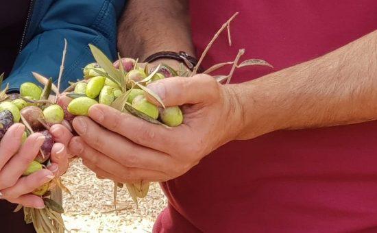שמן הזית של טורא בכרמי הזיתים של טורא | צילום: מירה לוי
