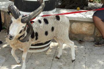 היישר מקנדה: זן נדיר של כבשים עם 4 קרניים ונקודות שחורות