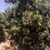 מתוק וכתום: המחקר שהובילה לעלייה דרמטית בגידול המנגו