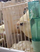 """תיעוד: ניסה להבריח עופות ב-300.000 ש""""ח בנתב""""ג"""