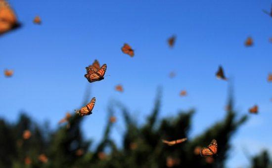 פרפרים