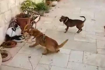 אכזריות: שיסה כלבים בחתול עוור