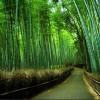 במבוק: הכירו את הצמח האציל, הבריא והידידותי