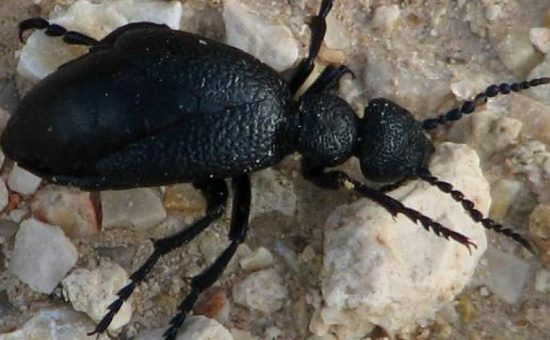 חיפושית שחורה