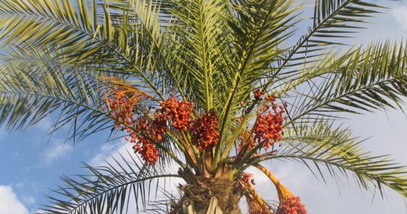 רשות הטבע והגנים קוראת לציבור להימנע מהשחתת עצים ושיחים לצורכי סכך וארבעת המינים
