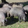 """צה""""ל רכש חזירים בכרבע מיליון ש""""ח: הסיבה – """"אימון בניתוח"""""""