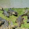 תנין לאנץ' טיים♦ צפו בכמות הבשר שהתנין אוכל