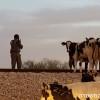 """כוחות מג""""ב לכדו עדרי עגלים שנגנבו בדרום"""