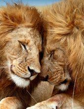 גור אריה יהודה – תהיי לביאה