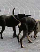 לא רק בבית שמש: רחובות יוצאת למאבק בכלבים המשוטטים