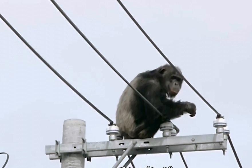 ברח מגן החיות והתרוצץ על כבלי החשמל ברחוב