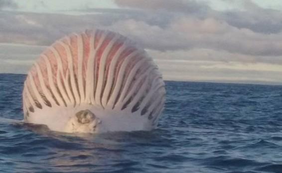זה לא כדור פורח: מה צף לעיני הדייג?