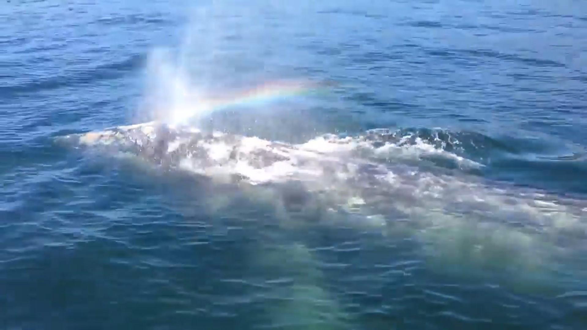 """קשת בלוויתן: הלוויתן התיז מים ויצר """"קשת"""""""