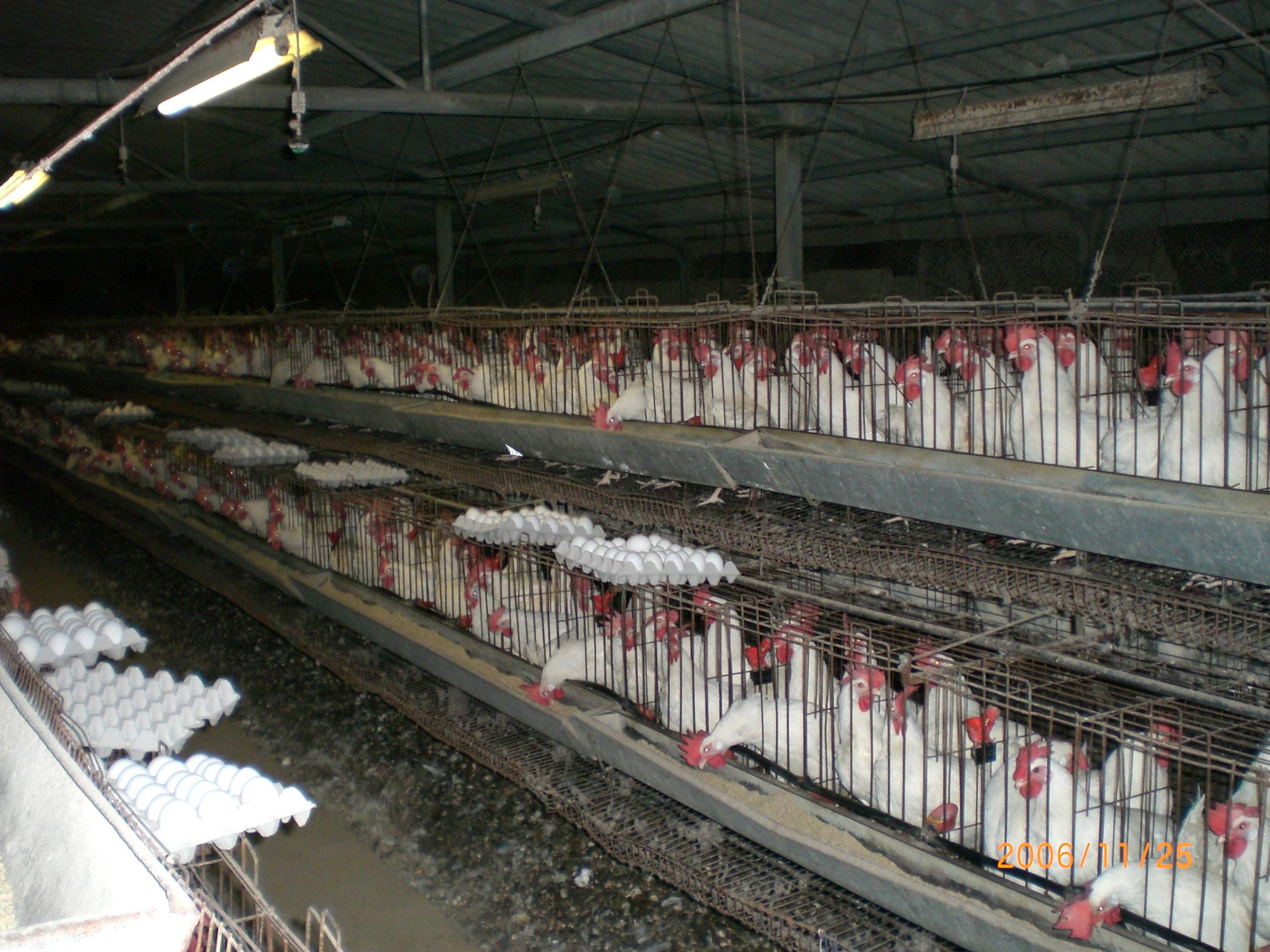 משרד החקלאות: צפי למחסור בעופות טריים