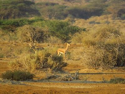 צבי הנגב: יש גידול באזור נחל פארן, אבל עדיין בסכנת הכחדה