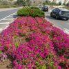 עיר התורה התקשטה בפרחים לכבוד החג