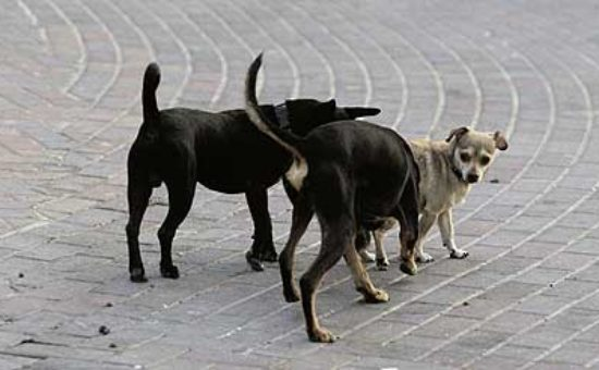 כלבים משוטטים. אילוסטרציה